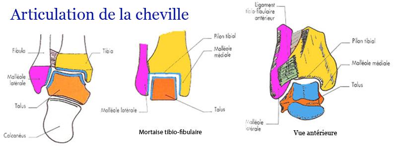 La Mécanique de la cheville et du pied - Podologie Le Havre ...