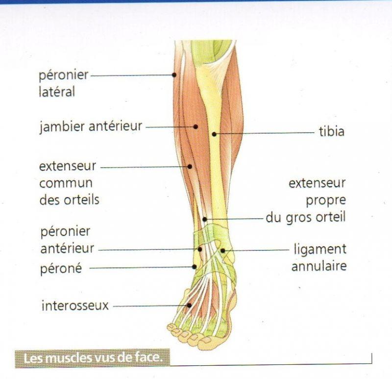 muscle dessus du pied
