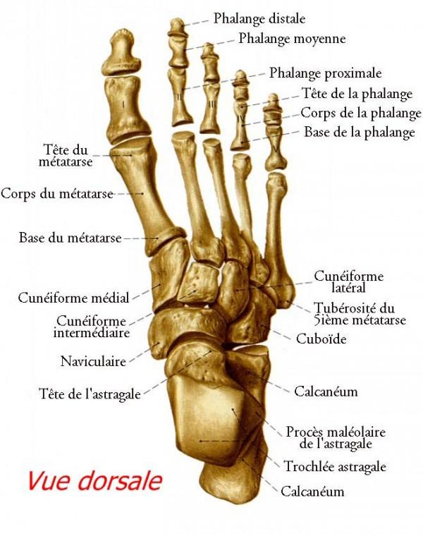 Anatomie Pied le squelette et les muscles du pied - podologie le havre - philippe